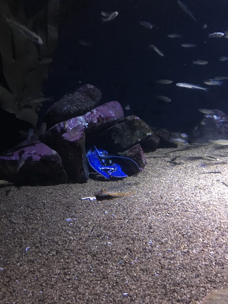 check of this blue lobster at the new england aquarium