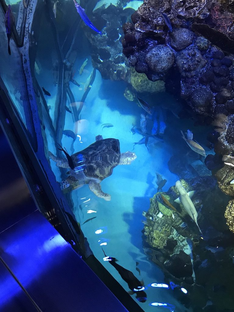 Giant ocean tank with sea turtles such as Myrtle the Turtle